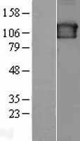 NBL1-15780 - SEC23IP Lysate