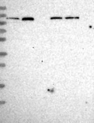 NBP1-81549 - SEC24C