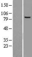 NBL1-10378 - SEC6 Lysate