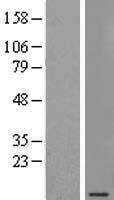 NBL1-15786 - SEC61G Lysate
