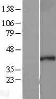 NBL1-15789 - SEH1L Lysate