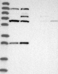 NBP1-87393 - C1orf163