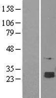 NBL1-15797 - SELT Lysate