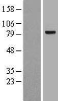 NBL1-15798 - SEMA3B Lysate