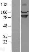 NBL1-15800 - SEMA4A Lysate