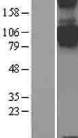 NBL1-15802 - SEMA4C Lysate