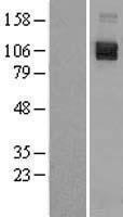 NBL1-15803 - SEMA4D Lysate