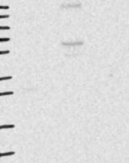 NBP1-82171 - SEMA4G