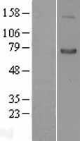 NBL1-15805 - SEMA7A Lysate