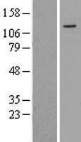 NBL1-15812 - SENP7 Lysate