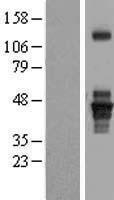 NBL1-07139 - SEPT1 Lysate