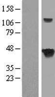 NBL1-07145 - SEPT5 Lysate