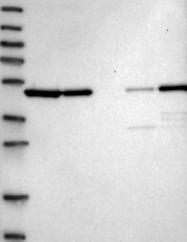 NBP1-85731 - Septin-7