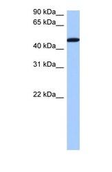 NBP1-57210 - SERBP1 / PAIRBP1