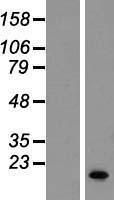 NBL1-15824 - SERF1B Lysate
