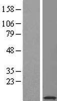 NBL1-15825 - SERF2 Lysate
