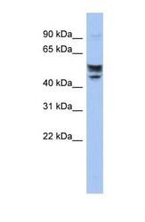 NBP1-60102 - Serine incorporator 2 / SERINC2