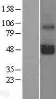 NBL1-15828 - SERINC1 Lysate