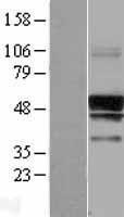 NBL1-15829 - SERINC3 Lysate