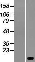 NBL1-15831 - SERP1 Lysate