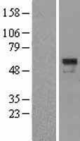 NBL1-15836 - SERPINA10 Lysate