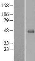 NBL1-15844 - SERPINB13 Lysate