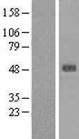 NBL1-15847 - SERPINB4 Lysate