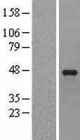 NBL1-15853 - SERPINE2 Lysate