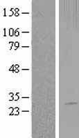 NBL1-15861 - SERTAD3 Lysate