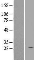 NBL1-15862 - SERTAD3 Lysate