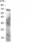 NBP1-44993PEP - Sestrin-1 (SESN1)