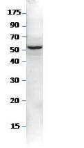 NBP1-44989PEP - Sestrin-2 (SESN2)