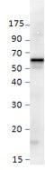 NBP1-44988 - Sestrin-3 (SESN3)