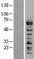 NBL1-15873 - SF1 Lysate