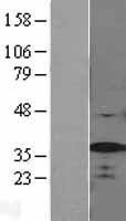 NBL1-15886 - SF2 Lysate