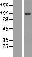 NBL1-15881 - SFMBT1 Lysate