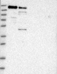 NBP1-88004 - SCAF4 / SFRS15