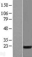 NBL1-15889 - SFRS3 Lysate