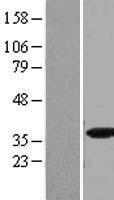 NBL1-15891 - SFRS5 Lysate