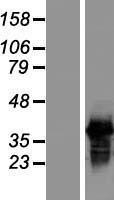 NBL1-15892 - SFRS7 Lysate