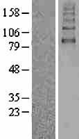 NBL1-16173 - SGLT2 Lysate