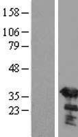 NBL1-15915 - SGTA Lysate