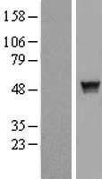NBL1-15920 - SH2D2A Lysate