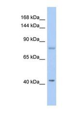 NBP1-58841 - SH2D3C / NSP3