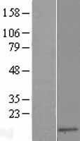 NBL1-15924 - SH3BGRL Lysate