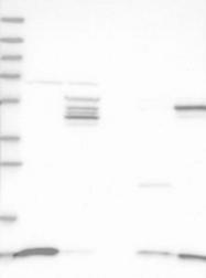 NBP1-89502 - SH3BGRL3