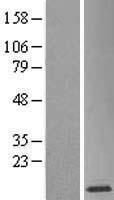 NBL1-15925 - SH3BGRL3 Lysate
