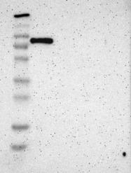 NBP1-88827 - SH3BP1
