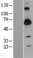 NBL1-15927 - SH3BP2 Lysate