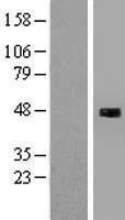 NBL1-15931 - SH3BP5L Lysate